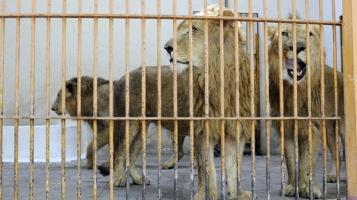 leones-giza-zoologico