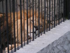 sad-lion