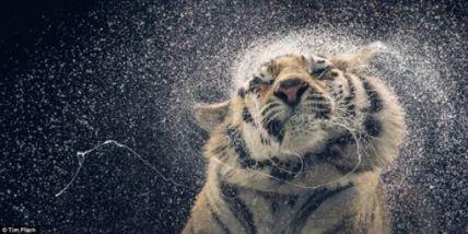 tigre002
